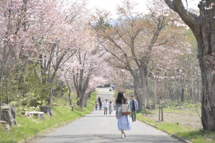 Kutchan Tourism Association Sakura Cherry Blossom May Photo