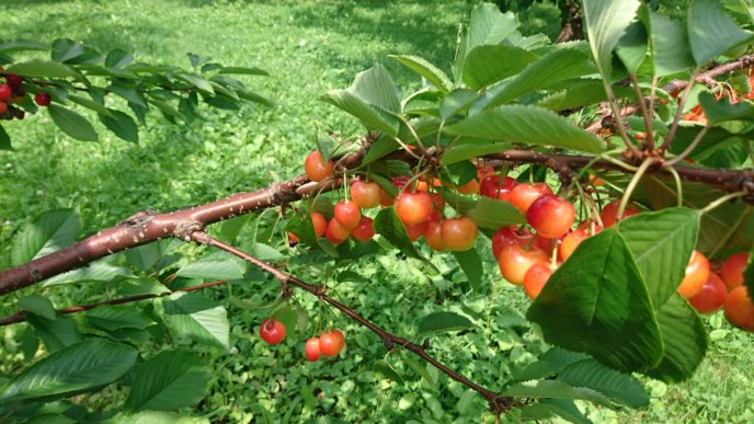 Sakuranbo Cherry Picking 8