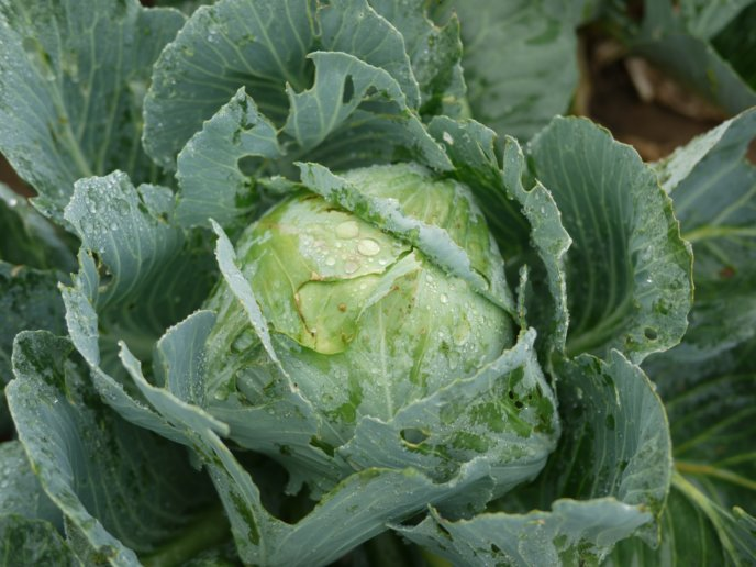 Winter Cabbage Niseko Pixabay Spring Vegetables Food