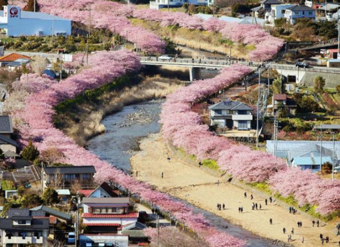 Kawazu Zakura 1 Sakura Cherry Blossom