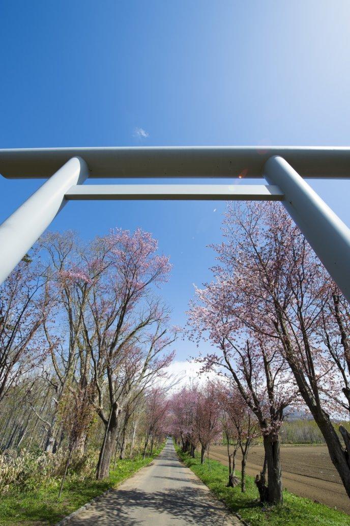 Makkari Shrine 1 Sakura Cherry Blossoms Tori Gate Spring