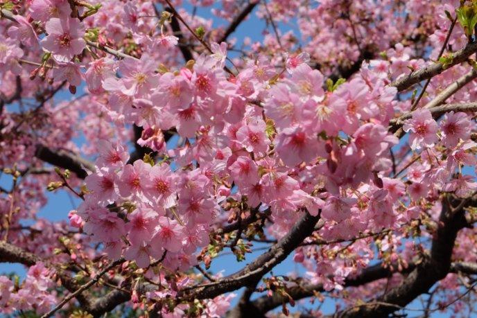 Sakura Cherry Blossom Pixabay 1228107