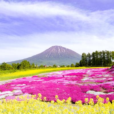2017 Hdr Shibazakura Mishima Sans Garden Kutchan Town 1