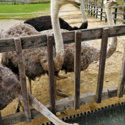 Ostrich Farm 2