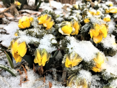 2017 March 28 Spring Flowers Hit By Late Snowfall Cropped