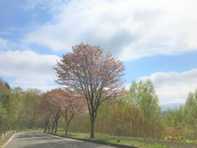 Sakura At Niseko Shinrin Park Pathway