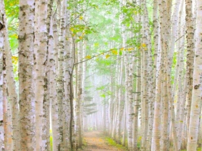 Japanese White Birch Trees